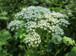 Zevenblad: de bloemen
